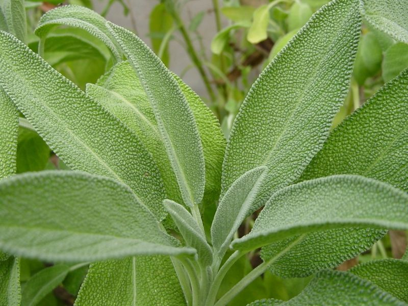 Improve your immunity and memory using sage